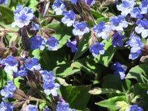 蓝色lungwort在森林里 库存图片