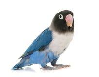 蓝色masqued爱情鸟 库存照片