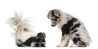 蓝色Merle澳大利亚牧羊人小狗, 10个星期年纪,看S 免版税库存图片
