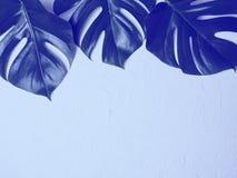 蓝色monstera在蓝色背景离开 库存图片