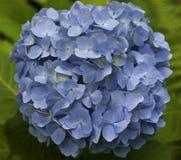 蓝色Mophead八仙花属:八仙花属Hortensis 图库摄影