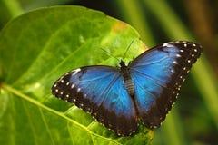 蓝色Morpho, Morpho peleides,大蝴蝶坐绿色叶子,昆虫在自然栖所,巴拿马 库存图片