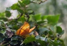 蓝色Morpho, peleides,大蝴蝶坐绿色叶子 库存图片