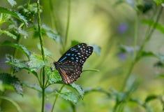 蓝色Morpho, peleides,大蝴蝶坐绿色叶子 库存照片