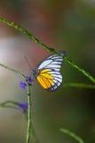 蓝色Morpho, peleides,大蝴蝶坐绿色叶子 免版税库存图片
