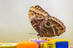 蓝色Morpho蝴蝶吃 库存图片