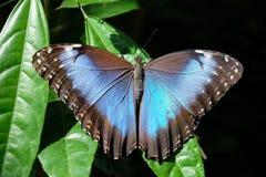 蓝色Morpho蝴蝶, Morpho peleides 免版税库存照片