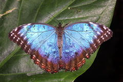 蓝色Morpho Morpho peleides热带蝴蝶 库存图片