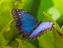 蓝色morpho (morpho peleides)在绿色自然背景 免版税图库摄影