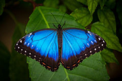 蓝色morpho (morpho peleides)在绿色自然背景 库存图片