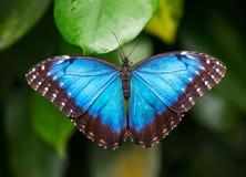 蓝色morpho (morpho peleides)在绿色自然背景 免版税库存照片