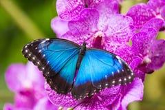 蓝色morpho (morpho peleides)在绿色自然背景 库存照片