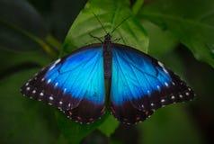 蓝色morpho (morpho peleides)在绿色自然背景 图库摄影