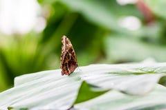 蓝色Morpho peleides在湿绿色叶子站立 外形旁边macr 免版税库存照片