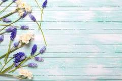 从蓝色muscaries和黄水仙的边界在绿松石开花 免版税库存照片