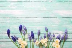 蓝色muscaries和黄水仙花在绿松石木backgr 库存图片
