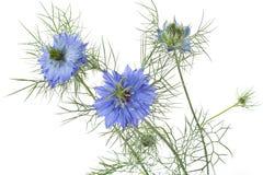 蓝色Nigella damascena花 库存图片