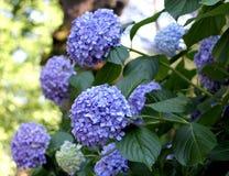 蓝色Ortensia八仙花属 免版税图库摄影