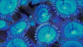 蓝色Palythoa珊瑚打开 股票视频