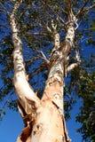 蓝色paperbark天空结构树 免版税库存照片