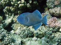 蓝色redtooth引金鱼 免版税图库摄影