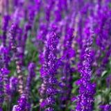 蓝色Salvia淡紫色花在庭院里和弄脏由纹理背景的风 库存照片