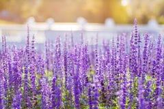 蓝色Salvia花田软的焦点  库存图片