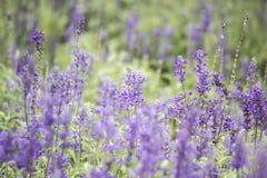 蓝色salvia花的领域 选择聚焦 免版税图库摄影