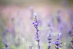 蓝色salvia花的领域 选择聚焦 免版税库存图片