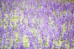 蓝色salvia花的领域 选择聚焦 免版税库存照片