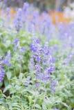 蓝色salvia花的领域 选择聚焦 库存照片