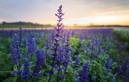 蓝色salvia花, 库存图片