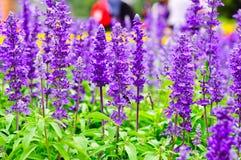 蓝色Salvia花 免版税库存照片