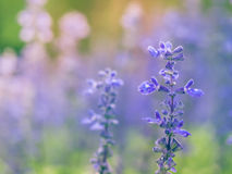 蓝色Salvia花 库存照片