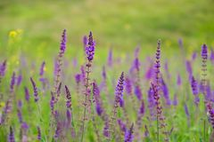 蓝色salvia, Salvia花在庭院里 免版税图库摄影