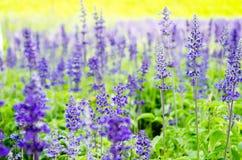 蓝色salvia, Salvia花在庭院里 免版税库存图片