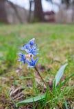 蓝色scilla siberica花 免版税库存照片