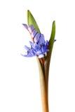 蓝色snowdrop 免版税图库摄影