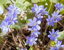 蓝色snowdrops。第一朵春天花 库存照片