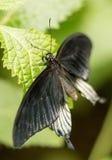 蓝色Swallowtail蝴蝶 库存图片