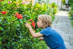 蓝色T恤杉的一个男孩嗅到一棵大红色木槿 图库摄影