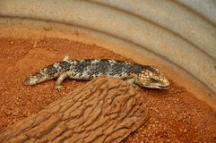 蓝色Tonque蜥蜴:西澳州 免版税图库摄影