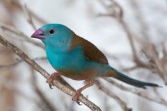 蓝色Waxbill雀科鸟 免版税库存图片