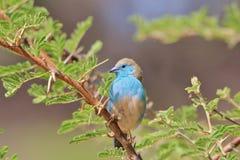 蓝色Waxbill -从非洲的狂放的鸟背景-美丽的蓝色 库存照片