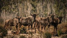 蓝色wildbeests,角马属taurinus 免版税库存照片