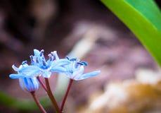 蓝色woodflowers 图库摄影