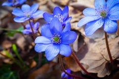蓝色woodflowers 免版税库存照片