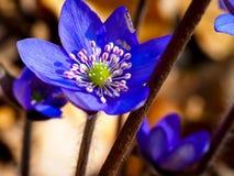 蓝色woodflowers 免版税库存图片