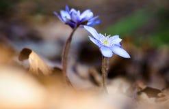 蓝色woodflowers 库存图片