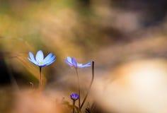 蓝色woodflowers 库存照片